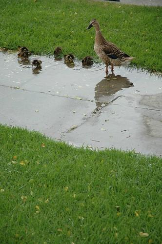 Baby ducks in venice