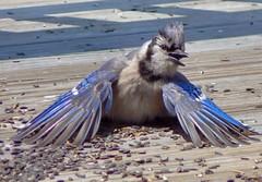 He's doing it again. (Lollie Dot Com) Tags: blue bird jay bluejay blueribbonwinner lolliedotcompix anawesomeshot impressedbeauty hesdoingitagain p1280188nnccrop beefscommentslayedme