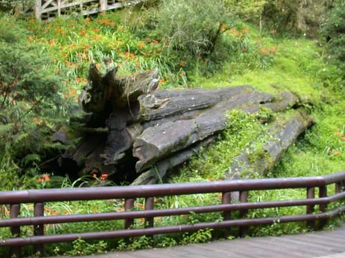 阿里山神木遺跡DSCN0971