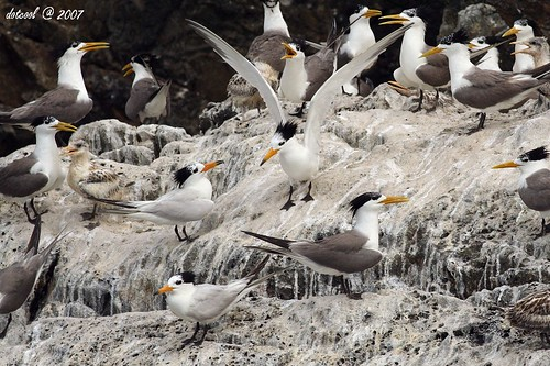 ??????? Chinese Crested Tern