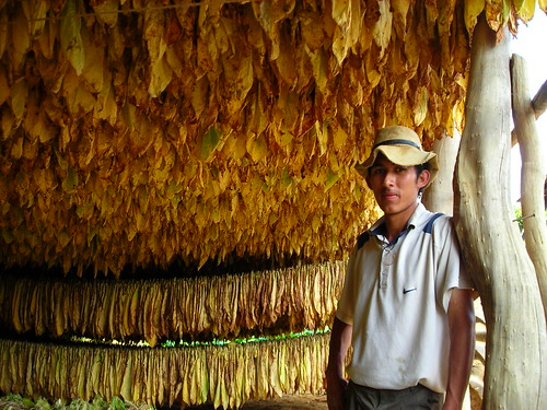 Tobacco Farmer, Santander