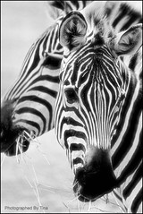 Zebra X 2 - by TakenByTina