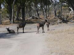 P1000374 (ignaciofd) Tags: africa mono leon impala namibia chobe moremi antilope zambia elefante hipopotamo cebra jirafa kananga savuti zimbawe bostwana animalessalvajes mohango rioperdido