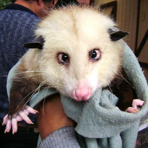 possum, opossum, heidi opossum, heidi the cross eyed opossum, opossum heidi