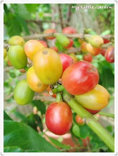 我家空中花園咖啡樹 (6)