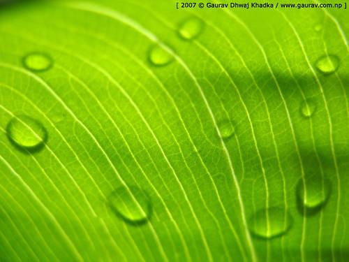 Green water drops [ थोपा थोपामा अदेको जीवन ]