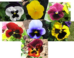 Pansy Collage (Chrisser) Tags: flowers ontario canada nature photoshop garden gardening collages fourseasons closeups pansies violaceae