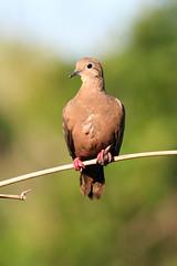 Eared Dove (Zenaida auriculata) (The Tardigrade) Tags: bird birds dove wildlife aves tropical ornithology tropics auriculata tobago eared zenaida eareddove zenaidaauriculata