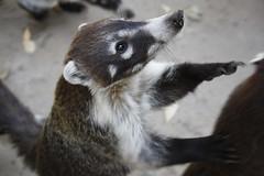 Tepozteco-283 (Rafael David De la Vega) Tags: nature animal fauna tepoztlan tejon tepozteco
