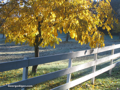 Yellow Tree & White Fence with Frost