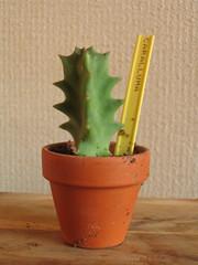 Carraluma 01 (Plantules) Tags: europea caralluma