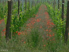 between the wineyards (*MRK*) Tags: wine poppy wineyard mohn weingarten