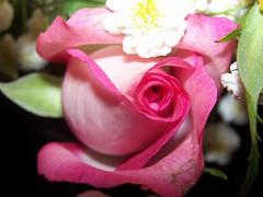 smallest pink (Little Grey) Tags: pink flowers roses rose flora flowerpix pinkflowers pinkthink flowersinmacromode pinkalicious floweraddicts