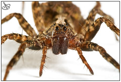 Staring At The Wolf (Brian-D) Tags: white macro closeup forest studio spider nikon wolf arachnid sigma kenko 150mm briand d80 impressedbeauty coolestphotographers