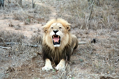 Lion 9-1 (jeffbanke) Tags: male cat mouth sitting african teeth lion fangs roaring carnivore