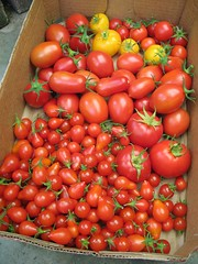 Another Tomato Harvest (joeysplanting) Tags: roma tomato fireball greatwhite sweet100 redpear ace55vf