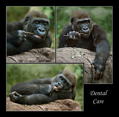 """Dental Care"" (guenterleitenbauer) Tags: pictures nature animal animals fauna canon tooth zoo monkey austria tiere photo sterreich foto image gorilla photos teeth natur picture images dental fotos ape monkeys alive unusual care bild capture tierpark apes obersterreich tiergarten bilder anders tier zhne gorillas affen affe gnter wildpark zahn dentalcare schrg schmiding upperaustria schmieding animalphotography naturesfinest tierfotografie gehege zoologie naturfotografie zahnstocher lebewesen supershot guenter specanimal berggorilla shieldofexcellence leitenbauer zoofotografie unblich wwwleitenbauernet"
