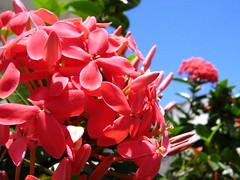 (belas e vibrantes) cores de Primavera (Silvianasci) Tags: flowers blue sky flores primavera cores spring explore ixora springtime ixoria naturesfinest simno anawesomeshot 23set 23thseptember