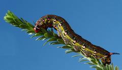 ALGUN DÍA VOLARÉ.......... (T.I.T.A.) Tags: naturaleza macro lepidoptera mariposa insecto hyles hyleseuphorbiae esfingedelalechetrezna carmensollatita bgndaxd hylestithymaligallaeci orugadehylestithymaligallaeci carmensollafotografía carmensollaimágenes