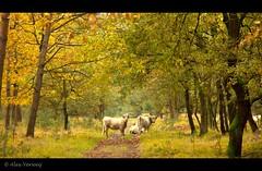 Hooglanders in het Laurabos - Weert (Alex Verweij) Tags: autumn forrest path herfst pad 7d friendly bos herfstkleuren wandeling weerterbergen hooglanders weert 24105mm laurabos loofbomen alexverweijcanon