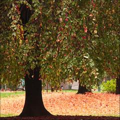 november cherries (rita vita finzi) Tags: life autumn trees nature leaves colours magic warmth amazement gradation tones brilliance iloveit novembercherries