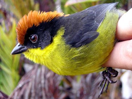 Jauns putns Kolumbijā (Atlapetes latinuchus yaringuierum)