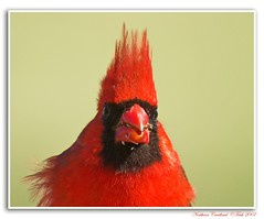 Huh?! ~~ Northern Cardinal~~ (Momba (Trish)) Tags: red bird birds interestingness nikon searchthebest cardinal tennessee explore nikkor soe cardinaliscardinalis momba northerncardinal naturesfinest nikond200 interestingness306 i500 a nikonstunninggallery superaplus aplusphoto avianexcellence lmaoanimalphotoaward explore03june2007