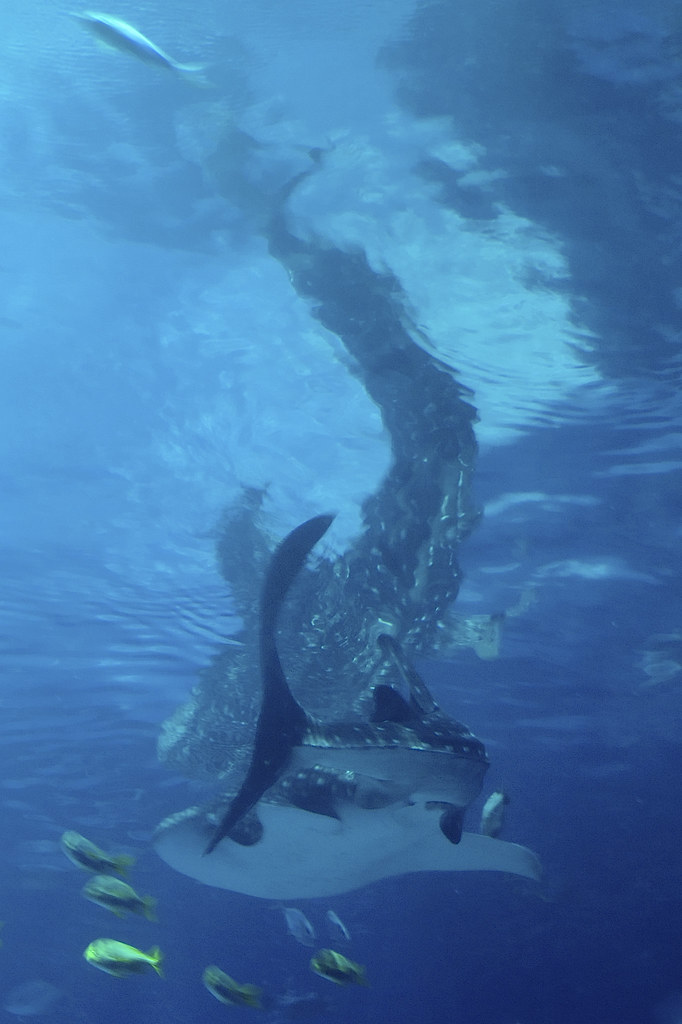 whale shark ©2007 RosebudPenfold