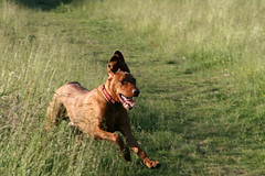 I LOVE the open fields (Woody Worth) Tags: wood dog playing cute dogs animal puppy happy puppies woody vizsla holly 100views fields elaine worth doggy hayes kev hungarian viszla whitwick
