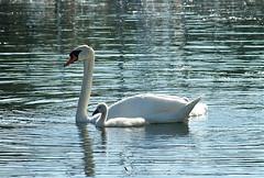 Just like Mom~ (**Mary**) Tags: white toronto ontario canada bird water swan pair tranquility grace urbannature ripples lakeontario waterfowl gta cygnets muteswan cygnusolor