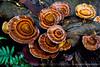 Fungi (HelenPalsson) Tags: orange rainforest australia fungi rings qld eungella eungellanationalpark brokenriver 20070627 mackayhighlandsgreatwalk qpws microporus xanthopus microporusxanthopus