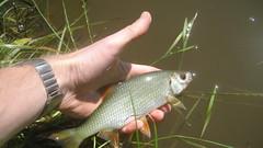 Roach (MC =)) Tags: fish fishing roach angling
