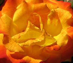 flaming rose (suzyr) Tags: macro rose canon colorful colourful canons3is diamondclassphotographer flickrdiamond suzyr