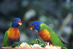 DSC00841 (denyselemaire) Tags: rainbow lorikeets