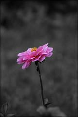 Selective Colour Pink (*Melody*) Tags: pink flower selectivecolour photofaceoffwinner theperfectphotographer pfogold