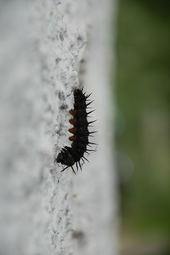 caterpillar to chrysalis 041