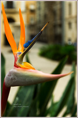 The Bird of Paradise (Thger) Tags: city orange flower green nature valencia spain alicante canonef1635mmf28liiusm thebirdofparadise