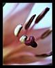 Ready For My Close Up Mr. DeMille (peasap) Tags: california ca flower macro closeup dark petals moody elcajon center el stamen stigma cajon anther naturesfinest instantfave platinumphoto frhwofavs excapture