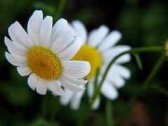 Daisies (audreyjm529) Tags: white flower macro green yellow daisies petals stem sunny daisy takeabow