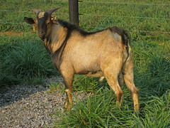 goat from 2007 Western Maryland test