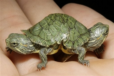APTOPIX Two Headed Turtle