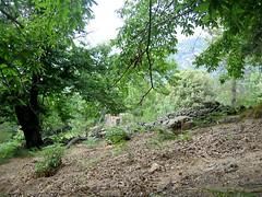Sur le chemin de Spelonche depuis Guagnu : la châtaigneraie près de Guagnu