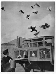 RAF homing pigeons