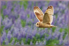 Fields of blue (hvhe1) Tags: flowers bird nature iceland bravo purple wildlife hunting flight interestingness1 raptor owl lupine birdofprey borgarnes shortearedowl specanimal hvhe1 hennievanheerden velduil