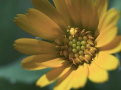 Floweroid (Schub@) Tags: flower macro nature 35mm polaroid natur olympus e3 blume makro zuiko grnzeug zd schubi masterphotos schub