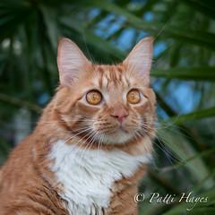 Logan (Patti-Jo) Tags: nature cat lens outside backyard orangecat nikon feline zoom longhair kitty naturallight telephoto gato nikkor 28300mm 28300 orangeandwhite f3556 vrii kissablekat bestofcats impressedbeauty flickrestrellas d300s friendsofzeusphoebe