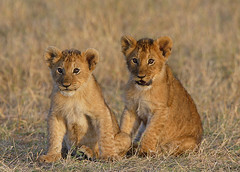 The troublesome twosome! (Lyndon Firman) Tags: africa canon cub searchthebest kenya lion 1d bbc tamu notch masaimara naturesfinest specnature specanimal animalkingdomelite bigcatdiary bigcatweek abigfave impressedbeauty aplusphoto superbmasterpiece