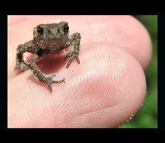 My little fellow th prince? (Bn) Tags: vacation holiday holland topf50 bravo dunes toad topf100 coolest topf200 babyanimal bufobufo 1cm meijendel naturesfinest blueribbonwinner firstquality duingebied supershot 100faves 200faves 35faves gewonepad abigfave anawesomeshot aplusphoto ultimateshot holidaysvancanzeurlaub theneterlands superbmasterpiece goldenphotographer 75faves platinumheartaward lifetravel