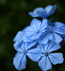 - project flower day aphotoaday winter plumbago plant