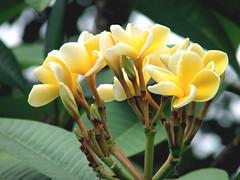 yellow araliya (Niroshini Seneviratne) Tags: flowers red white green yellow araliya